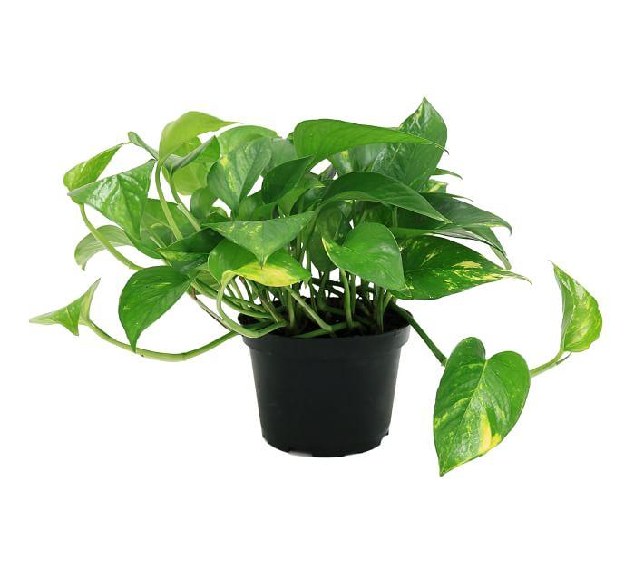 Pothos air purifying plant