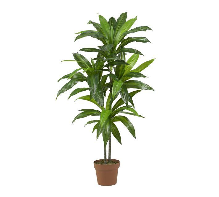 Dracaena Indoor-House plant